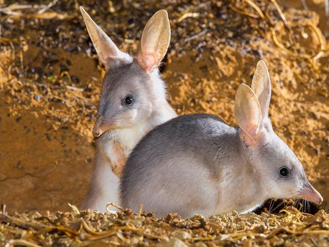 The greater bilby is listed as a vulnerable keystone species, with its close relative the lesser bilby made extinct in the 1950s. It's important for the ecosystem because of the pits it creates that allow for water penetration. Picture: Bruce Thomson