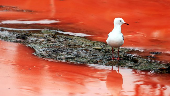 A seagull searches for a meal in the algal bloom which has killed many fish on the coast of Sydney. Picture: Craig Greenhill