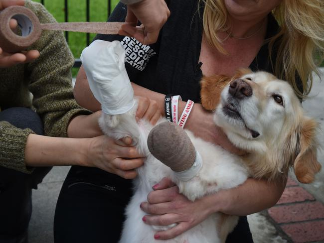Chi Chi gets her bandages replaced. Her recovery will be ongoing. Picture: AFP PHOTO/Mark Ralston