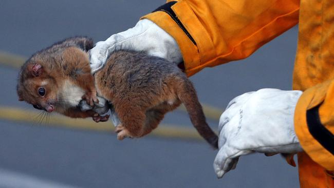 A possum is rescued by a firefighter close to a bushfire in Salt Ash. Picture: AAP Image/Darren Pateman