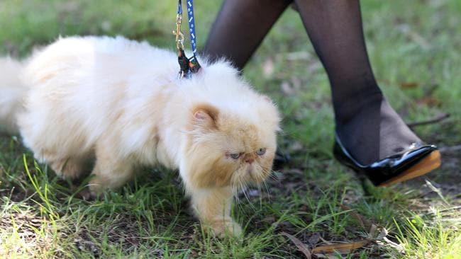 Basillio takes a walk on a leash.
