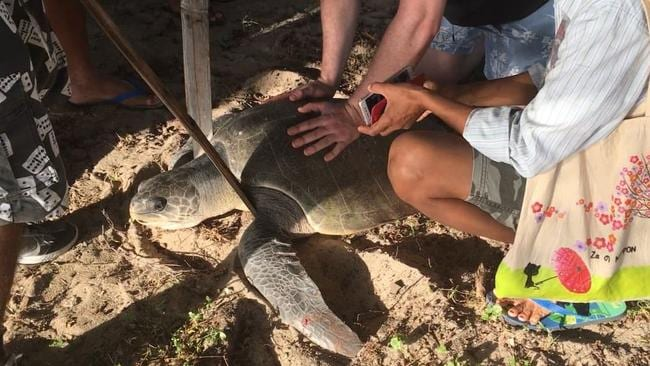 Sea Life representatives travelled to East Timor where they spent one week working with local groups for World Turtle Day this year, where they rescued this olive ridley turtle. Picture: Sea Life