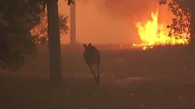 A kangaroo tries to escape the fires.