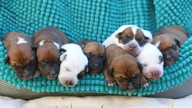 The lucky litter resting peacefully. Their mother Lucy was rescued by the Guardian Angels Rescue group while giving birth. Picture: Tait Schmaal.