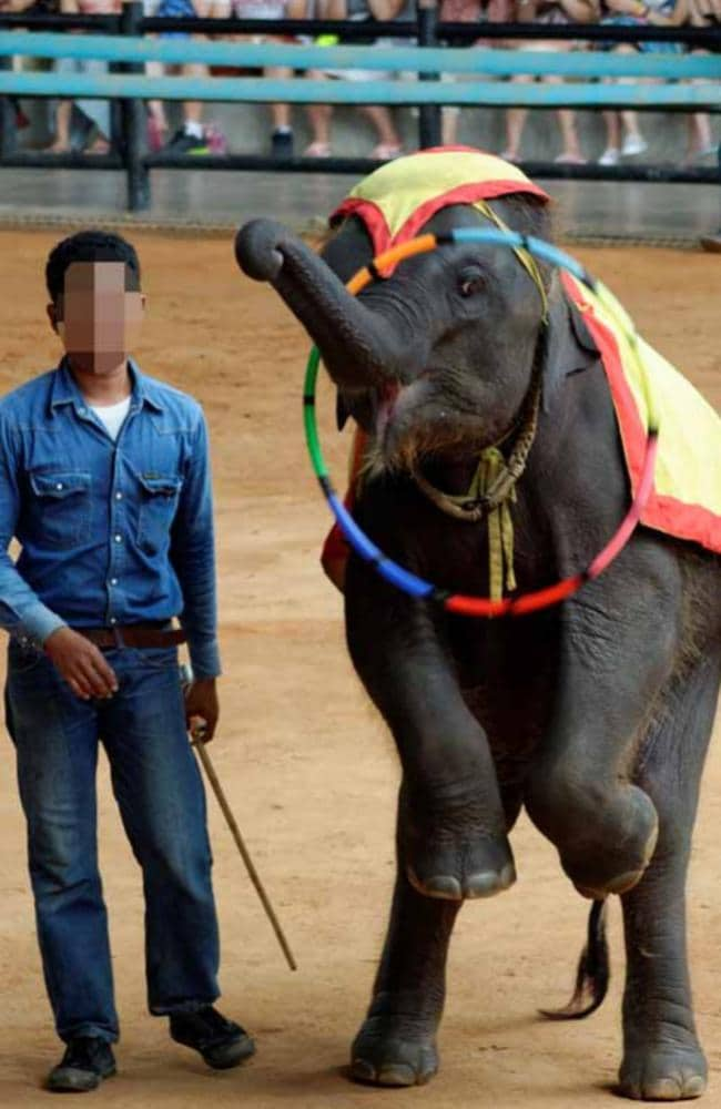An elephant performs tricks. Picture: World Animal Protection