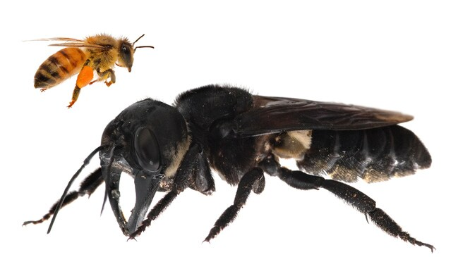 Scientists re-discover the world's biggest bee