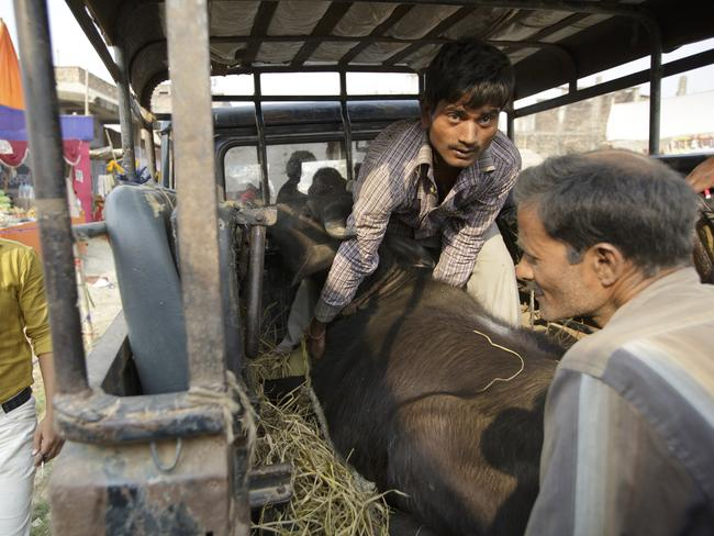 A buffalo is unloaded from a truck to be sacrificed. (Kuni Takahashi/AP Images for Humane Society International)