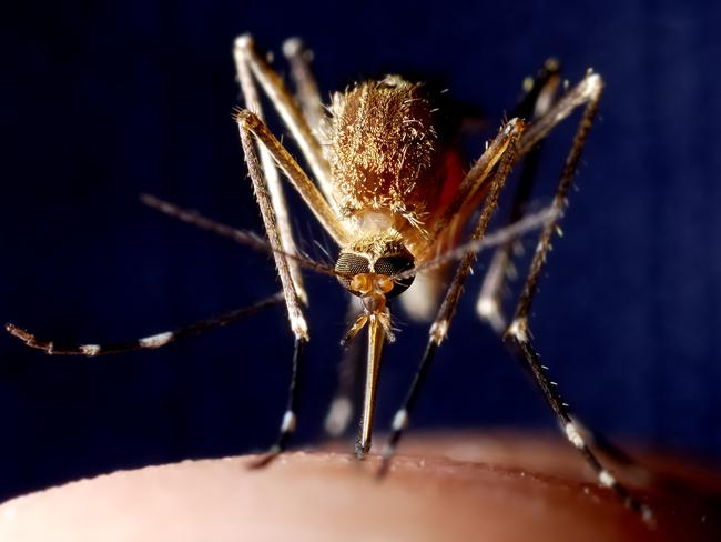 A mosquito feeding on an unlucky person's finger.