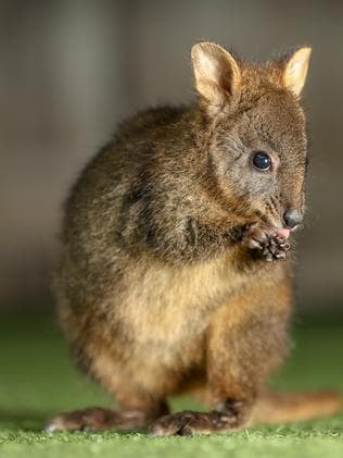 Wildlife Tasmania Rti Document Reveals 185 599 Bennetts Wallabies And Tasmanian Pademelons Culled The Mercury