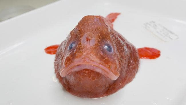 Red coffinfish. Picture: Rob Zugaro