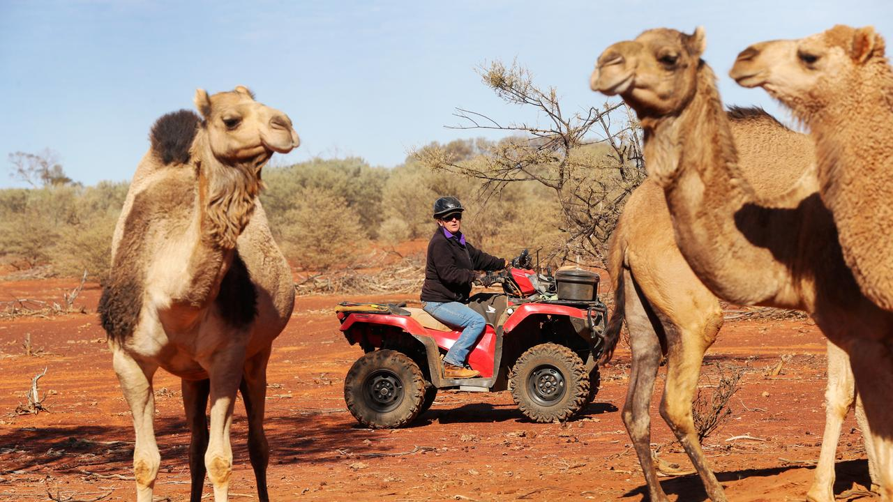 Sustainable Land Management company founder Tony Lovell has introduced camels to try to rejuvenate his property outside Cunnamulla. Picture: Nigel Hallett