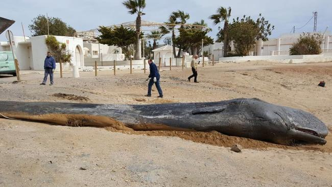 The whale was unusually thin when it washed up on the beach.