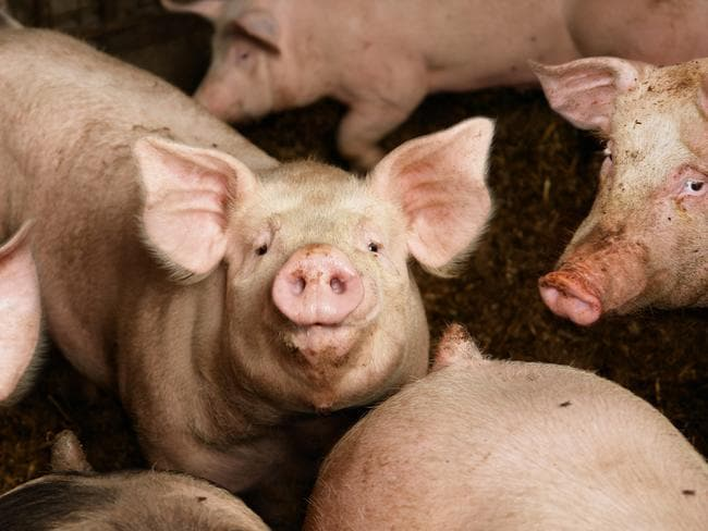 If compromised product is brought into Australia, it could seriously impact our $5.2 billion pork industry.