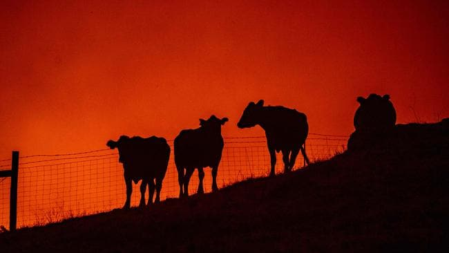 Cows stand on a field as fire approaches them atop a hillside during the Kincade fire near Geyserville, California. (Photo by Josh Edelson / AFP)