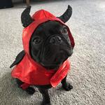 Phoenix the French Bulldog dressed up. Photo Michelle Quinn