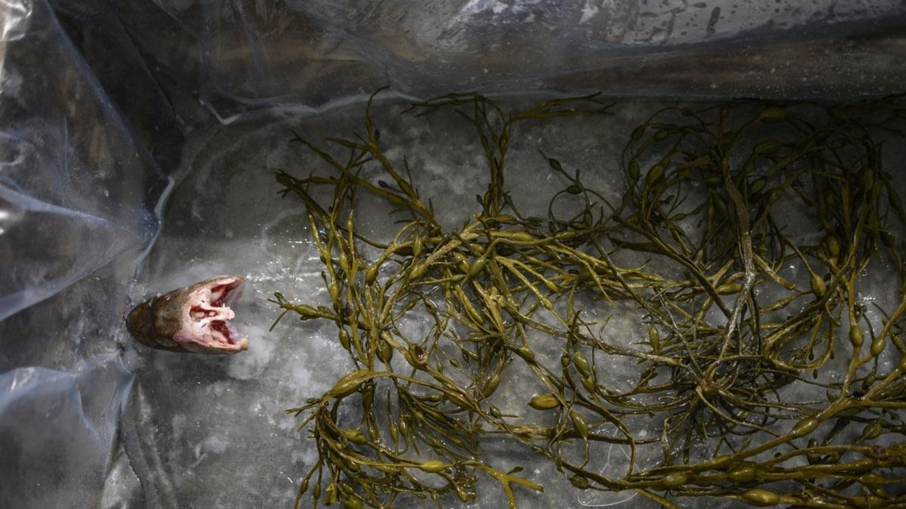 A cod's head is set up for decoration in an empty mould along with seaweeds used as grip. Picture: AFP