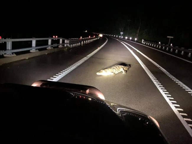 Justin Mills spotted a large saltwater crocodile crossing the Bruce Highway, north of Ingham. Photo: Justin Mills