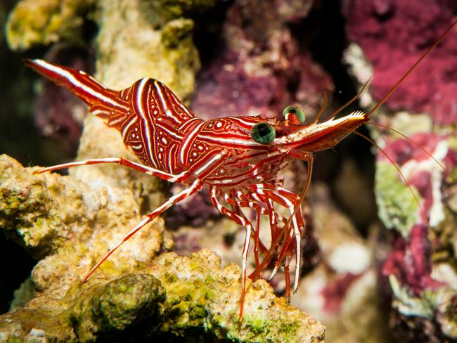 The free-living Candy Shrimp likes to hide in crevices, under overhangs, or among coarse coral rubble. Photo: Queensland Museum Discovery Guide