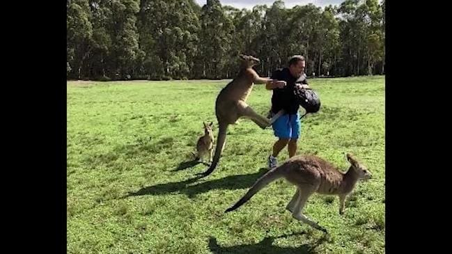 Kangaroo violence toward tourists rampant on NSW north coast