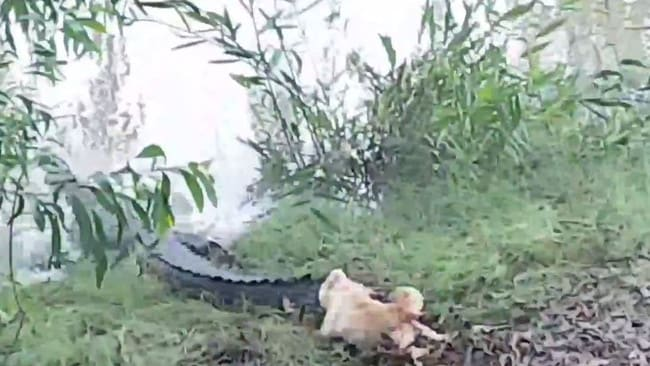 Dumb blonde dog famous for chasing crocodiles gets eaten plucky pooch dumb blonde had no qualms about giving the massive reptiles what for at freerunsca Image collections