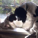 Springer Spaniels Hadley and May belong to Carol Ola Vera. Puppy Power List. RBH
