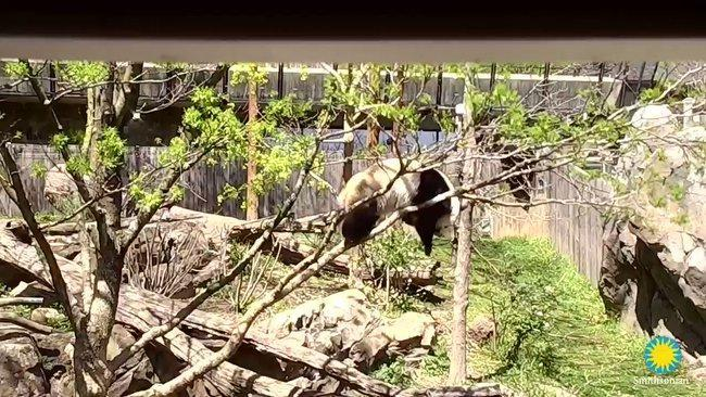 National Zoo Panda Goes Out on a Limb, Falls and Climbs Up Again