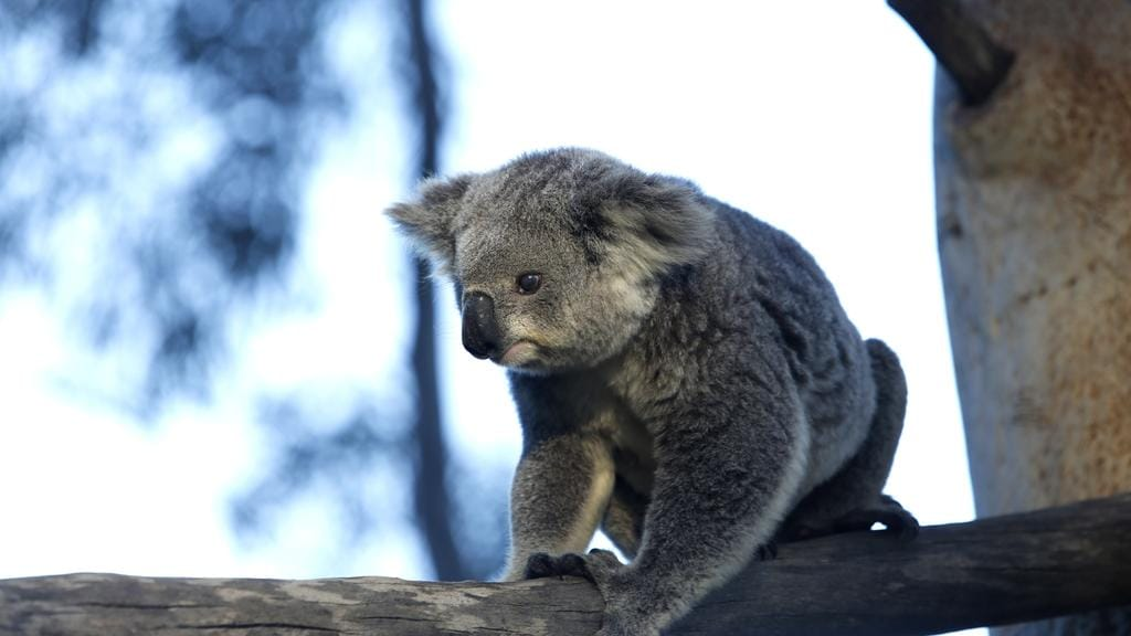 Concerns about the region's precious koala population have been raised. Picture: Robert Pozo
