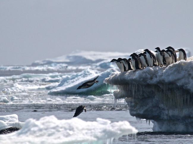 Adelie penguins leaping off an iceberg at Danger Islands, Antarctica. Picture: AFP/ Stony Brook University and Louisiana State University/Rachael Herman