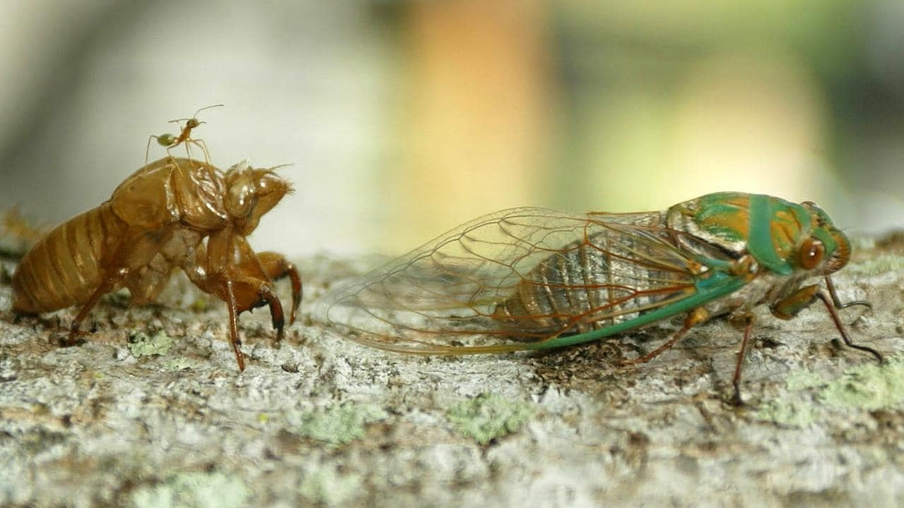 A cicada emerges from its shell.