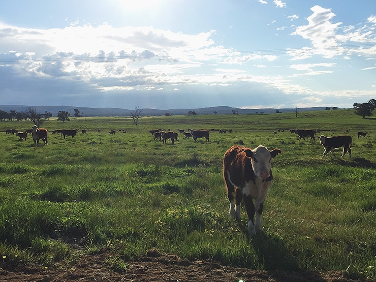Belmore-Cows-and-Calves-at-Sunset.jpg
