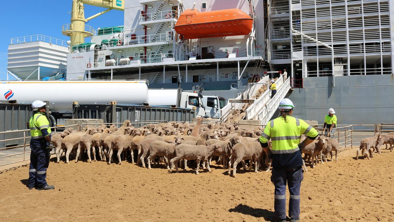Sheep boarding a ship. Picture: supplied