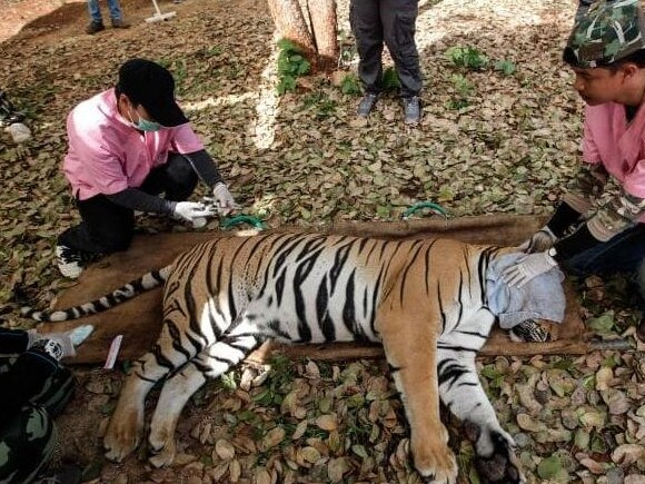 Thai DNP veterinarian officers tend to a sedated tiger at the Tiger Temple. Picture: Getty