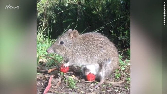 Mother and baby potoroo enjoying a snack in the sunshine