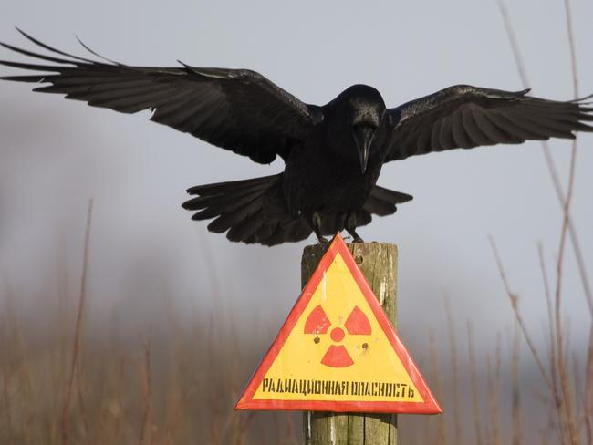 A raven sits on a post inside the 30km exclusion zone around the Chernobyl nuclear reactor near the village of Babchin. The sign reads: 'Radiation hazard'. Picture: Vasily Fedosenko