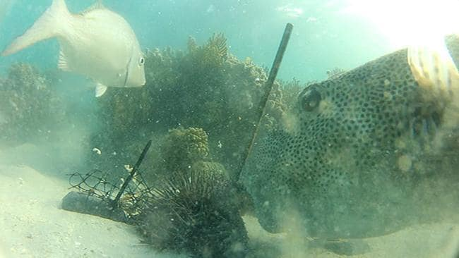 Puffer fish makes a meal of starfish