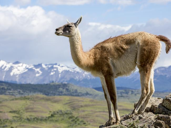 A guanaco surveys the Patagonia wilderness. Picture: Edwina Hart