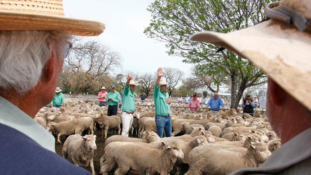 Sheep Markets Industry In For Strong Selling Season The Weekly Times