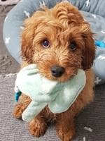 Raphael Winn's cavoodle Oliver. Puppy Power List. PRP