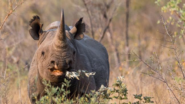 A rare black rhino enjoys feeding. Picture: Istock