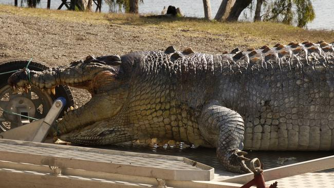 Monster: The massive croc had been dead for a couple of days, investigators believe. Picture: Police Media