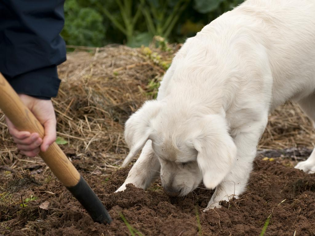 Digging is a normal dog behaviour but there are ways to redirect them so they don't destroy your yard. Picture: iStock