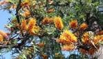The tree quite literally drips poisonous nectar. Picture: Supplied