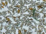 Nature - Third Prize, Singles © Jaime Rojo Title: Monarchs In The Snow A carpet of monarch butterflies covers the forest floor of El Rosario Butterfly Sanctuary, in Michoacán, Mexico, on 12 March, after a strong snow storm hit from 8 to 9 March, 2016. The storm hit the mountains of Central Mexico, creating havoc in the wintering colonies of monarch butterflies just as they were starting their migration back north to the USA and Canada. Climate change is creating an increase of these unusual weather events, representing one of the biggest challenges for these actually resilient insects during their hibernation.