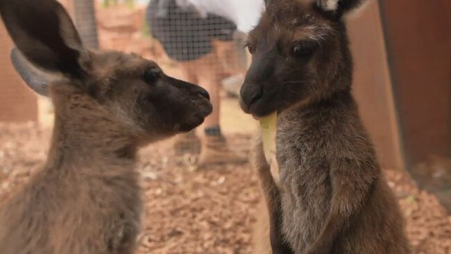 Dawn and Dusk are receiving around-the-clock care at Wild Life Sydney Zoo.