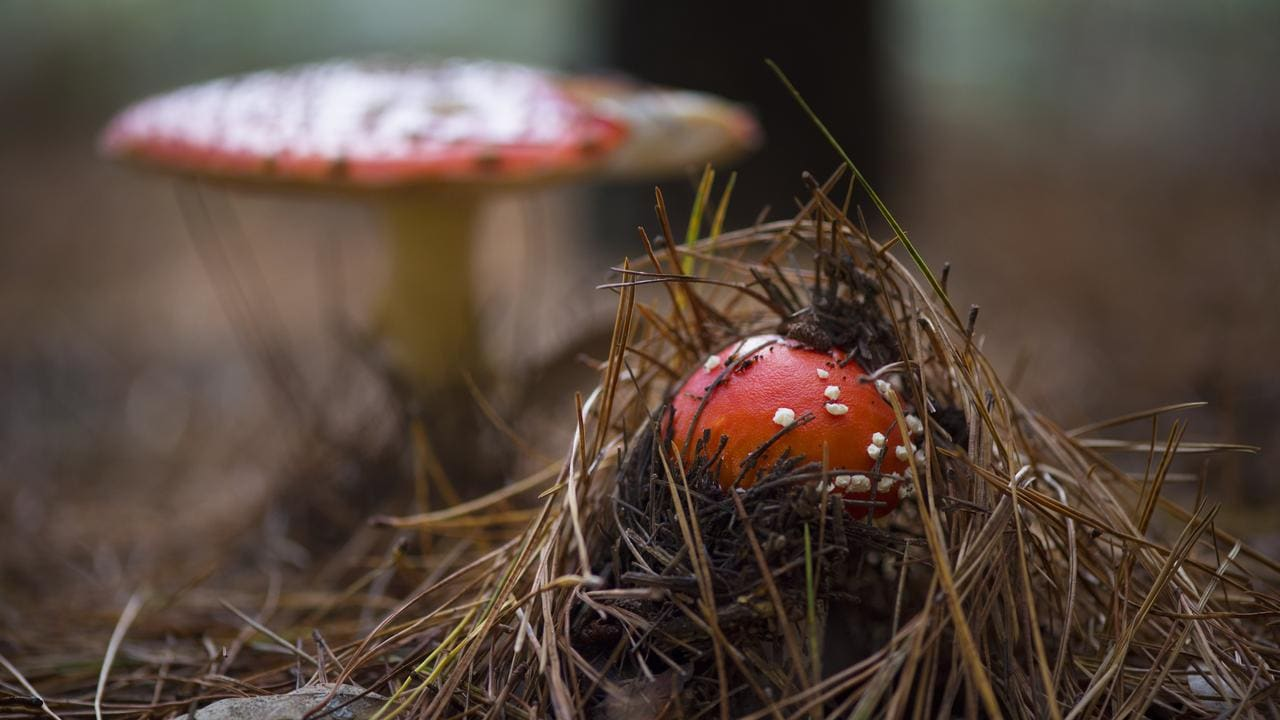 Toadstools that look like they're out of a fairy garden in a pine forest in Victoria. Picture: Zoe Phillips