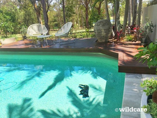 Australia heatwave koala dies in swimming pool trying to - How soon can you swim after shocking pool ...