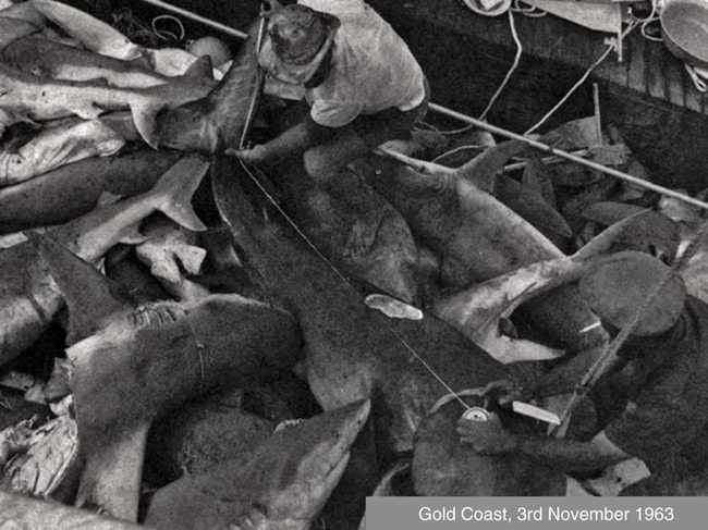 Since 1962, the Queensland shark control program has caught almost 50,000 sharks. Picture: Communications Biology