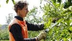 Citrus Pruners and backpackers Lorenzo Neri (Italy, 27), Jules Gorny (France, 26) and Niccolo Cerutti (Italy, 27) are working at Lynbrook Citrus Farm north of Gayndah. Photo Lachie Millard