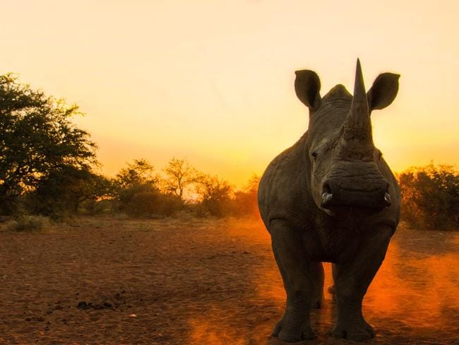 Rhinos are under threat in Africa. Picture: Jason Savage
