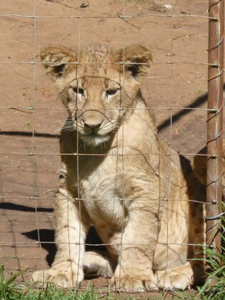 The lions are exploited at every stage of their lives. Picture: Four Paws/Supplied.